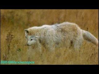 BBC «Рассказы о животных» (13 серия) (Документальный, 2008)